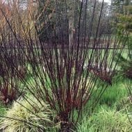 dark stems. Stems with leaves or bare are ideal for a beautiful Autumn bouquet or even as seasonal dinner decorations. To top it all off this lovely plant is incredibly hardy and easy to grow. Its hard to go wrong when growing this lovely dark red-barked tatarian dogwood in your garden.