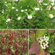 cornus stolonifera red twig dogwood flower fruit 190x190 - Cornus sericea