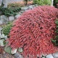 cotoneaster apiculatus cranberry cotoneaster red leaves fall 190x190 - Cotoneaster apiculatus