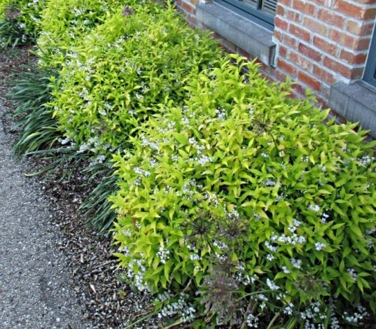 Deutzia gracilis 'Aurea' has long lasting golden yellow leaves that seem to shine from Spring to Autumn
