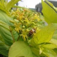 diervilla rivularis honeybee shrub for bee magnet 190x190 - Diervilla rivularis 'Diwibru01' HONEYBEE