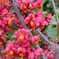 Spindle tree plants have deep red leaves with rose-pink fruit that split revealing tangerine-coated seeds brighten up gardens in the fall and winter