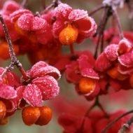 euonymus red cascade 1 190x190 - Euonymus europaeus 'Red cascade'
