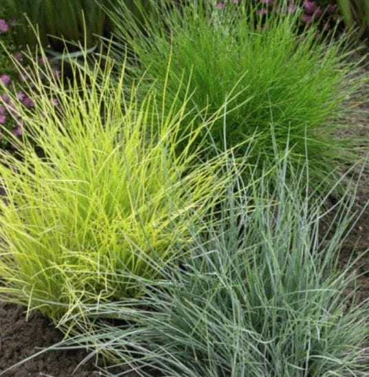 Festuca glauca 'Golden Toupee' is a great addition for anyone looking to add some new and beautiful grasses to their garden. Many gardeners