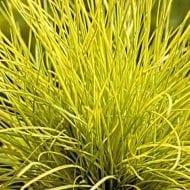 festuca glauca golden toupee yellow fescue 190x190 - Festuca glauca 'Golden Toupee''