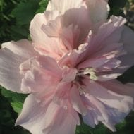 hibiscus syriacus blushing bride double pink 190x190 - Hibiscus syriacus 'Blushing Bride'