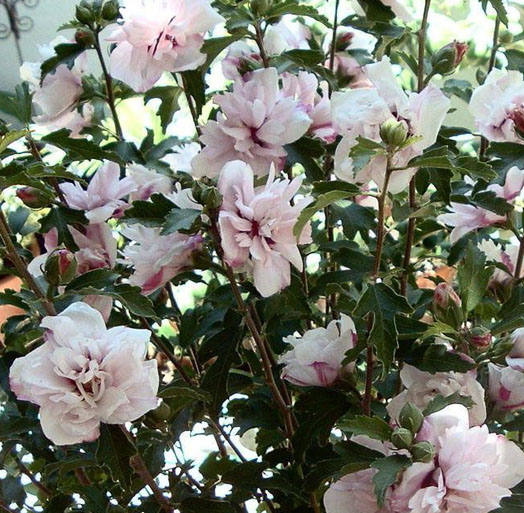 This particular Rose of Sharon shrub is a great example of how big and beautiful a Hibiscus plant can be. It can be a great privacy hedge or simply