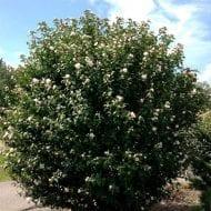 hibiscus syriacus blushing bride rose of sharon 190x190 - Hibiscus syriacus 'Blushing Bride'