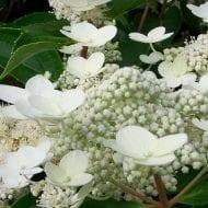 hydrangea paniculata dharuma dwarf peegee hydrangea 190x190 - Hydrangea paniculata 'Dharuma'