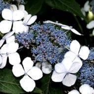 hydrangea serrata bluebird blue lacecap hydrangea 190x190 - Hydrangea serrata 'BlueBird'