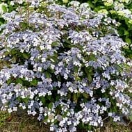 Lacecap Hydrangea Bluebird with its abundance of rich blue lacecap flowers and dark green leaves adds colour and long blooming season to your garden.