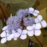hydrangea serrata bluebird pink lacecap 190x190 - Hydrangea serrata 'BlueBird'