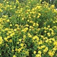 hypercicum kalmianum bush in bloom 190x190 - Hypercicum kalmianum