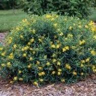 hypericum kalmianum st john s wort anxiety 190x190 - Hypercicum kalmianum