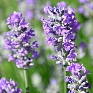 Who doesn't love the beautiful fresh scent of English Lavender Plants? Now you can add this beautiful and fragrant shrub to your garden.
