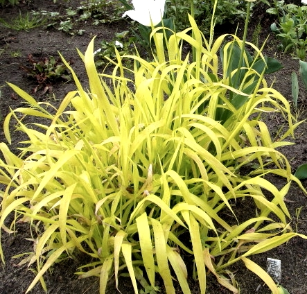 Golden Wood Millet is a beautiful tall yellow grass that works perfectly in a shady area. Much more shade tolerant than other clumping grasses