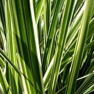 miscanthus sinensis variegatus variegated grass 190x190 - Miscanthus sinensis 'Variegatus'