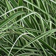 miscanthus sinensis variegatus variegated leaves 190x190 - Miscanthus sinensis 'Variegatus'