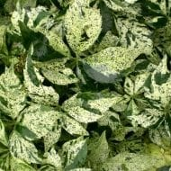 This Variegated Virgina Creeper is sets itself apart from the rest of the varieties with its gorgeous cream & green leaves