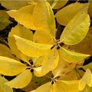 parthenocissus quinquefolia yellow wall virginia creeper 190x190 - Parthenocissus quinquefolia 'Yellow Wall'