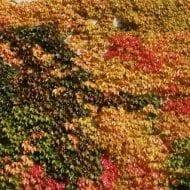 parthenocissus quiquefolia yellow wall fall color 190x190 - Parthenocissus quinquefolia 'Yellow Wall'