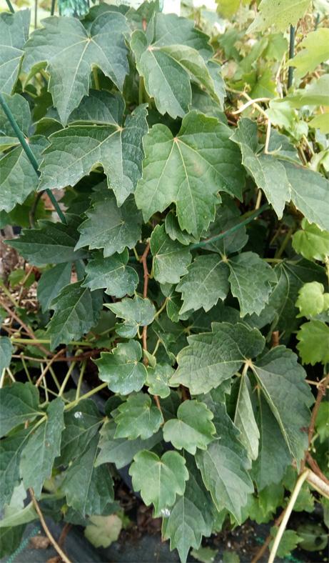parthenocissus t diamond mountains slow growing boston ivy - Parthenocissus tricuspidata 'Diamond Mountains'