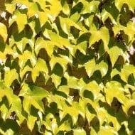 parthenocissus tricuspidata fenway park 190x190 - Parthenocissus tricuspidata 'Fenway Park'