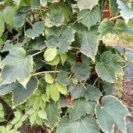 parthenocissus tricuspidata green spring 190x190 - Parthenocissus tricuspidata 'Green Spring'