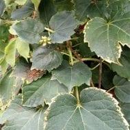 parthenocissus tricuspidata green spring boston ivy 190x190 - Parthenocissus tricuspidata 'Green Spring'