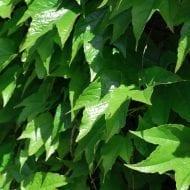 parthenocissus tricuspidata green spring japanese creeper 190x190 - Parthenocissus tricuspidata 'Green Spring'