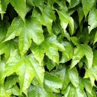 Compared to Parthenocissus tricuspidata 'Veitchii' which grows initially red