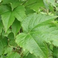 parthenocissus tricuspidata robusta giant boston ivy 190x190 - Parthenocissus tricuspidata 'Robusta'