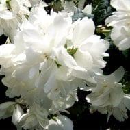 philadelphus snowbelle double white flower 190x190 - Philadelphus 'Snowbelle'