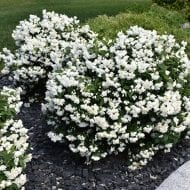 Philadelphus Snowbelle is a dwarf and compact mockorange variety. Still with beautiful and fragrant white double flowers