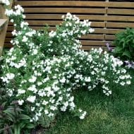 philadelphus snowbelle mock orange in bloom 190x190 - Philadelphus 'Snowbelle'