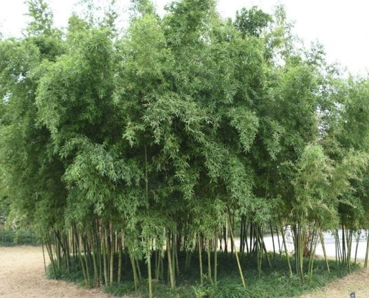 Phyllostachys parvifolia is taller than Phylostachys bissetii and yet it is just as hardy. This species' size is very impressive with large diameter