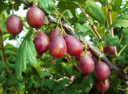 Captivator Thornless Gooseberry has very few thorns. It has delicious and abundant dark red fruit. This plant is disease resistant and produces