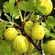 ribes uva crispa Invicta commercial gooseberry 190x190 - Ribes uva-crispa 'Invicta'