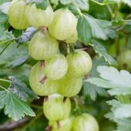 This green gooseberry bush is one the most highly yielding varieties. It can even be grown commericially to produces abundant delicious and sweet green fruits.