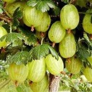 ribes uva crispa invicta green gooseberry 190x190 - Ribes uva-crispa 'Invicta'