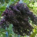The Kent Elderberry (Sambucus canadensis 'Kent') is large variety of Elderberry that can produces multiple clusters of small but very sweet Elderberries. This variety is known for its very early season production of berries. Elderberry also has beautiful umbled white and yellow flowers. Elderberry is famous as a medicinal berry filled with vitamin C. It can be eaten raw or cooked into desserts or even made into tinctures. Elderberry has been used as a folk remedy for the common cold.