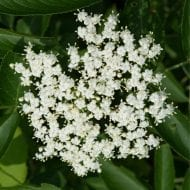 sambucus canadensis kent elderberry flower 190x190 - Sambucus canadensis 'Kent'