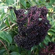 Scotia Black Elderberry is a variety of Elderberry with small but sweet Elderberries. Known for having the smallest but sweetest Elderberries.