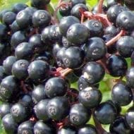 York Elderberry Bush is the largest variety of Elderberry. It can produces multiple clusters of large Elderberries. Known for its huge production