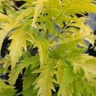 sambucus racemosa sutherland gold 190x190 - Sambucus racemosa 'Sutherland Gold'