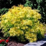 sambucus racemosa sutherland gold elderberry 190x190 - Sambucus racemosa 'Sutherland Gold'