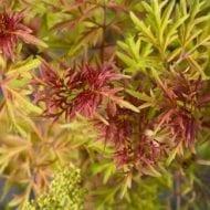 sambucus racemosa sutherland gold growth 190x190 - Sambucus racemosa 'Sutherland Gold'
