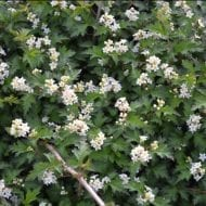 Laceshrub best feature is the foliage and arching habit