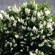 syringa vulgaris mme lemoine double flower lilac 190x190 - Syringa vulgaris 'Mme Lemoine'