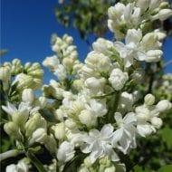 syringa vulgaris mme lemoine double white flower lilac 190x190 - Syringa vulgaris 'Mme Lemoine'